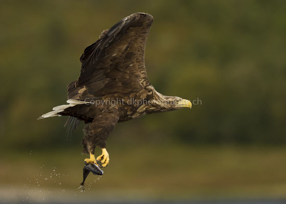 Seeadler 5 (Haliaeetus albicilla), aufgenommen in Norwegen Bild-Nummer: 176