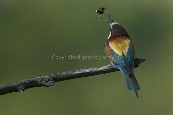 Bienenfresser wirft Beute in die Luft, um sie zu drehen. So kann er sie besser runterschlucken (Merops apiaster), aufgenommen im Kaiserstuhl (D). Bild-Nummer: 221