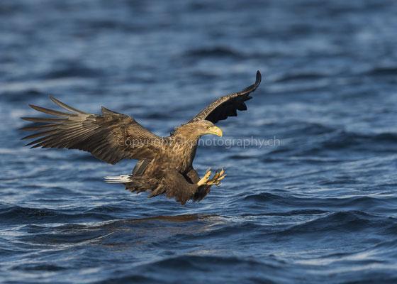 Seeadler 19 (Haliaeetus albicilla), aufgenommen in Norwegen Bild-Nummer: 190
