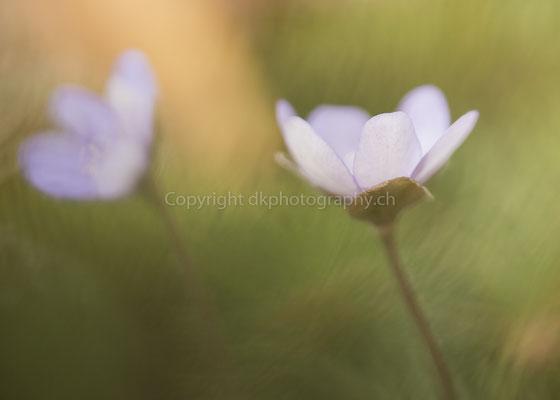 Leberblume 2 (Anemona hepatica), aufgenommen bei Biel (CH). Bild-Nummer: 148