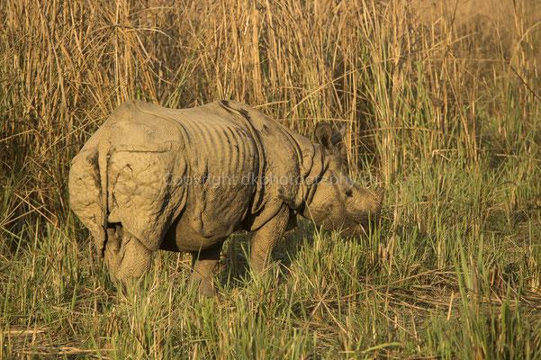 Nashorn (Rhinoceros unicornis) in der Abendsonne, aufgenommen in Nepal.