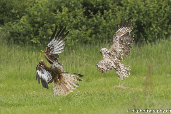 rotmilan und Mäusebussard im Zweikampf, aufgenommen in Wales. Bild-Nummer: 339