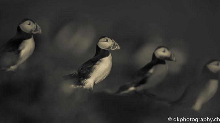Papageitaucher (Fratercula arctica), aufgenommen in Wales. Bild-Nummer: 328