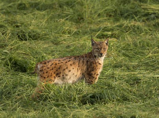 Luchs 3 (Lynx), aufgenommen im Kanton Baselland (CH).