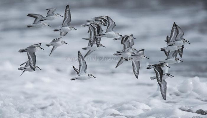 Flucht vor der Welle 2 (Sanderling, Calidris alba), Canada Bild-Nummer: 42