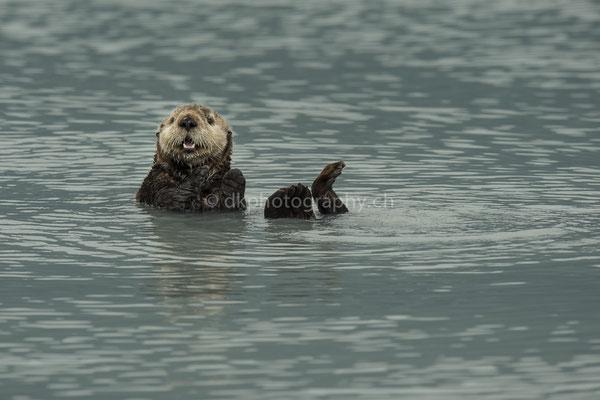 Seeotter 1 (Sea otter, Alaska) Bild-Nummer: 99