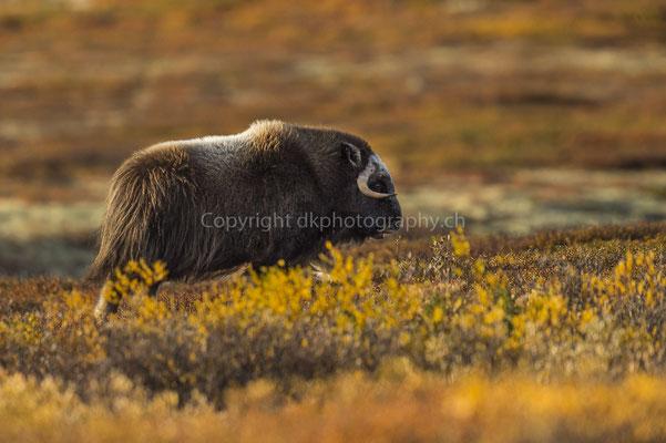Moschusochse 7 (Ovibus moschatus), aufgenommen in Norwegen Bild-Nummer: 204