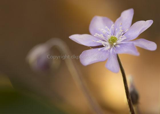 Leberblume 1 (Anemona hepatica), aufgenommen bei Biel (CH). Bild-Nummer: 147