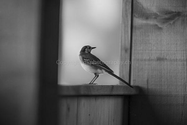Besuch der Bachstelze (Motacilla alba) in der Beobachtungshütte, aufgenommen in Damphreux (CH). Bild-Nummer: 251