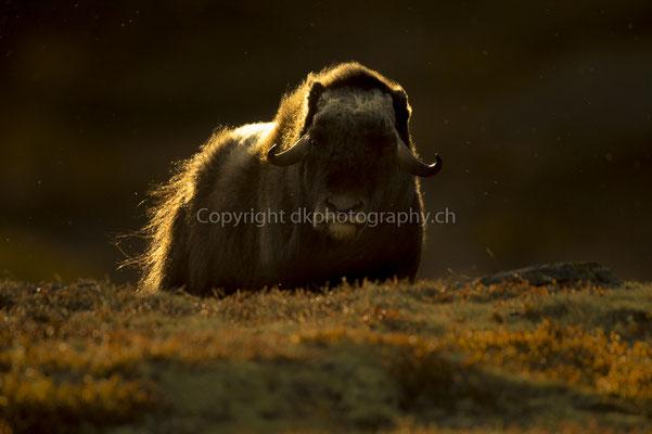 Moschusochse in der frühen Morgenstunde (Ovibus moschatus), aufgenommen in Norwegen