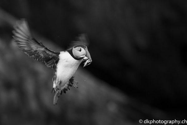 Papageitaucher (Fratercula arctica) im Anflug, aufgenommen in Wales. Bild-Nummer: 334