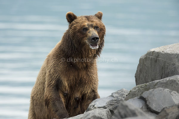 Braunbär (Ursus arctos, Alaska) Bild-Nummer: 91