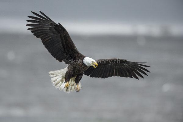 Weisskopfseeadler (Bald eagle, Alaska) Bild-Nummer: 92