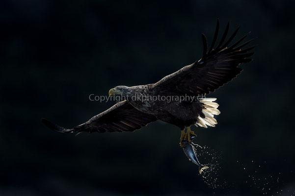 Seeadler 14 (Haliaeetus albicilla), aufgenommen in Norwegen Bild-Nummer: 185