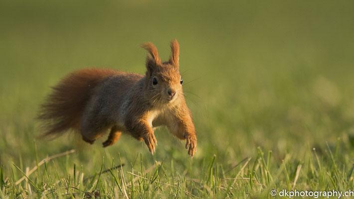 Auf dem Sprung (Eurasisches Eichhörnchen, Sciurus vulgaris), aufgenommen in Deutschland. Bild-Nummer: 310