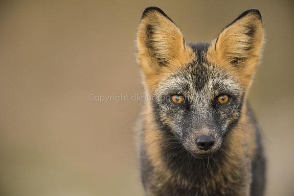 Silver Fox (dunkel pigmentierte Form des Rotfuchses, Vulpes vulpes), Rocky Mountains Canada Bild-Nummer: 39
