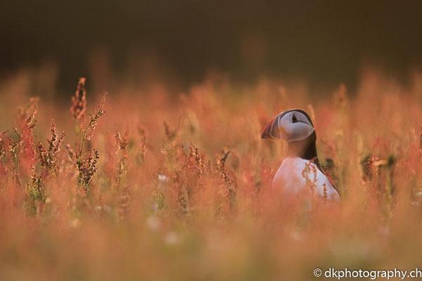Papageitaucher (Fratercula arctica), aufgenommen in Wales. Bild-Nummer: 342