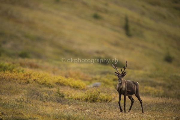 Karibu 4 (Caribou, Rangifer tarandus granti, Alaska) Bild-Nummer: 59
