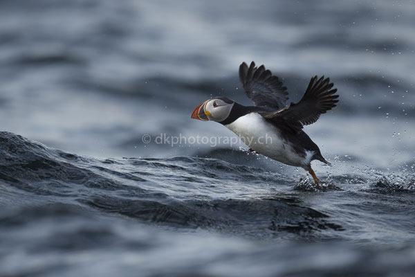 Papageientaucher 2 (Puffin, Canada) Bild-Nummer: 105