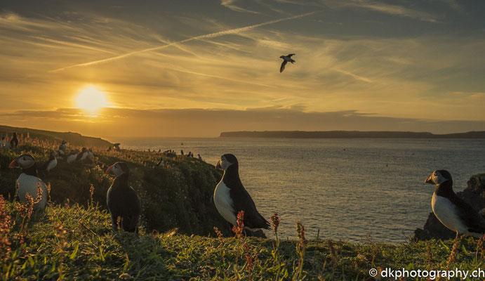 Kolonie im Sonnenuntergang (Papageitaucher, Fratercula arctica), aufgenommen in Wales. Bild-Nummer: 332