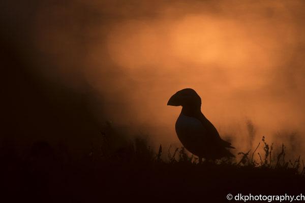Papageitaucher (Fratercula arctica) im Sonnenuntergang, aufgenommen in Wales. Bild-Nummer: 343