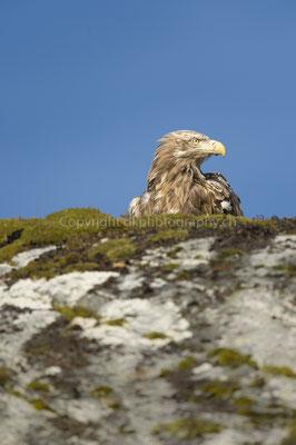 Seeadler 17 (Haliaeetus albicilla), aufgenommen in Norwegen Bild-Nummer: 188