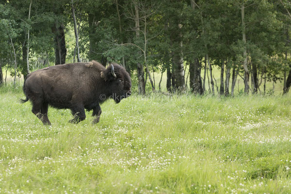 Bison, (Elk Island Nationalpark Canada)