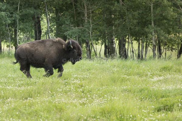 Bison, (Elk Island Nationalpark Canada) Bild-Nummer: 114