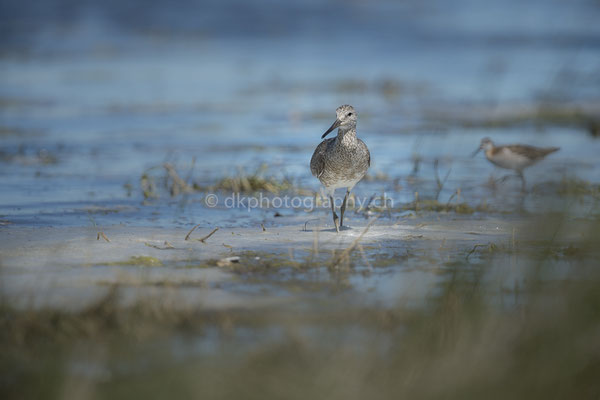 Watvogel (Wader bird, Canada) Bild-Nummer: 111