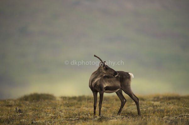 Karibu 3 (Caribou, Rangifer tarandus granti, Alaska) Bild-Nummer: 58