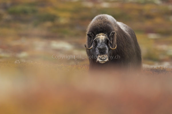 Moschusochse 9 (Ovibus moschatus), aufgenommen in Norwegen