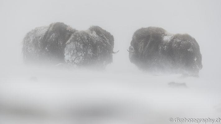 Im Sturm, Moschusochsen, Dovrefjell Norwegen.
