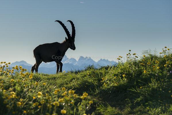 Begegnung in den Bergen, (Steinbockmännchen, Capra ibex), aufgenommen am Augstmatthorn (CH). Bild-Nummer: 248