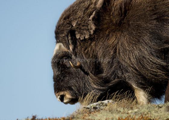 Moschusochse 4 (Ovibus moschatus), aufgenommen in Norwegen Bild-Nummer: 201