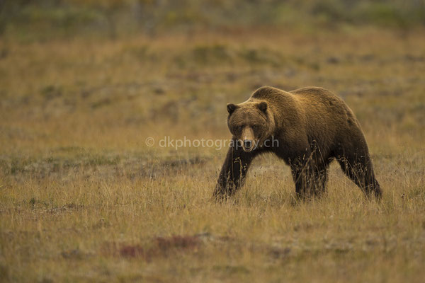 Grizzly, Denali National Park Alaska