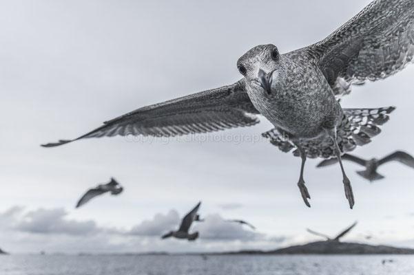 Gruss einer Möwe, aufgenommen in Norwegen. Bild-Nummer: 193
