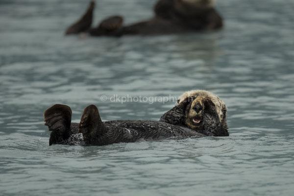 Seeotter 2 (Sea otter, Alaska) Bild-Nummer: 100