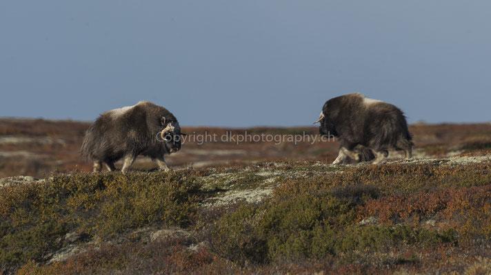 Moschusochse im Zweikampf 2 (Ovibus moschatus), aufgenommen in Norwegen Bild-Nummer: 199