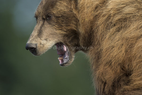 Close-up (Braunbär, Ursus arctos, Alaska) Bild-Nummer: 24
