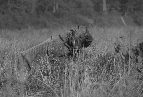 Nashorn (Rhinoceros unicornis) legt sich zur Ruhe, aufgenommen in Nepal.