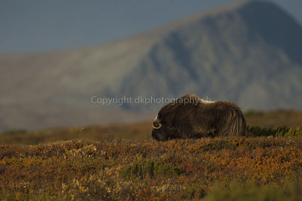 Moschusochse 2 (Ovibus moschatus), aufgenommen in Norwegen