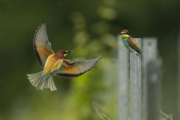 Anflug zur Übergabe eines Brautgeschenks (Bienenfresser, Merops apiaster), aufgenommen im Kaiserstuhl (D). Bild-Nummer: 216