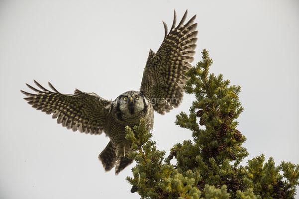 Sperbereule 1 (Northern Hawk Owl, Surnia ulula) Bild-Nummer: 66