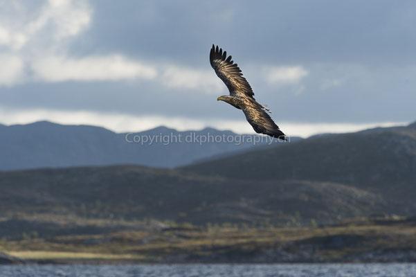 Seeadler 16 (Haliaeetus albicilla), aufgenommen in Norwegen Bild-Nummer: 187