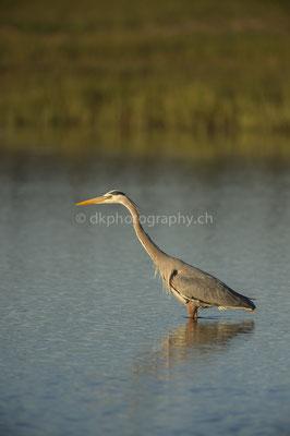 Graureiher (Grey heron, Canada) Bild-Nummer: 107