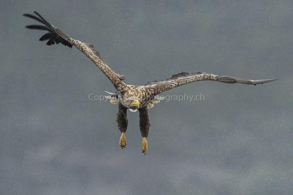 Seeadler 9 (Haliaeetus albicilla), aufgenommen in Norwegen Bild-Nummer: 180