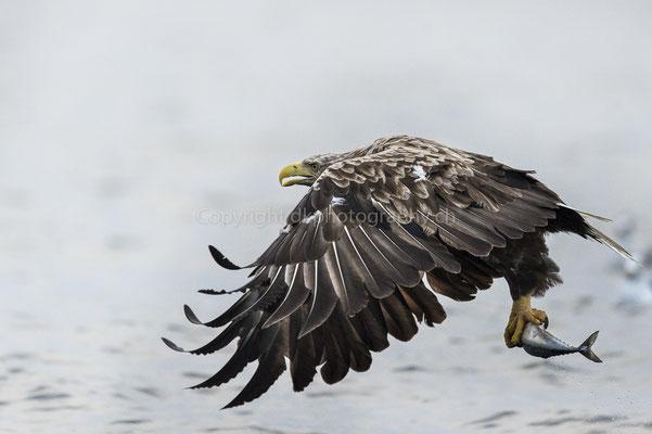 Seeadler 12 (Haliaeetus albicilla), aufgenommen in Norwegen Bild-Nummer: 183