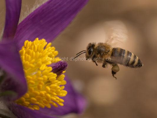 Fleissige Biene am Ostermontag, aufgenommen in der Region Basel (CH). Bild-Nummer: 146