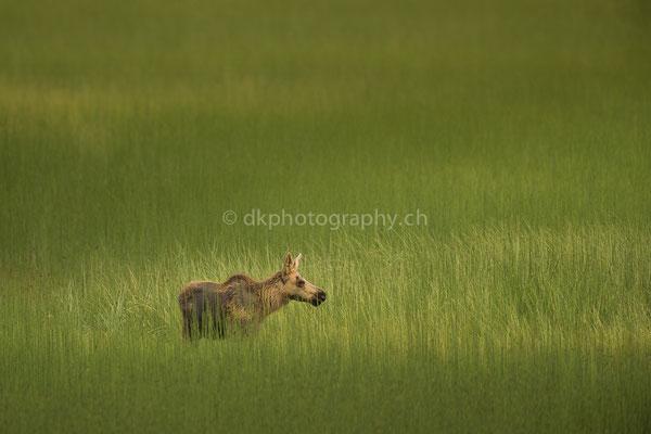 Jungelch im Abendlicht 1 (Juvenile Moose, Alces alces, Alaska) Bild-Nummer: 85