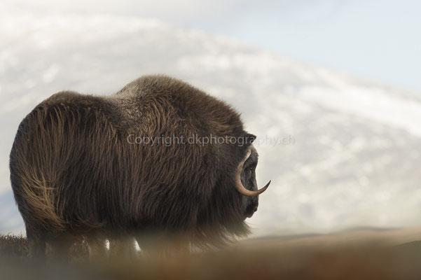Moschusochse 11 (Ovibus moschatus), aufgenommen in Norwegen